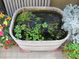 風呂桶とメダカ
